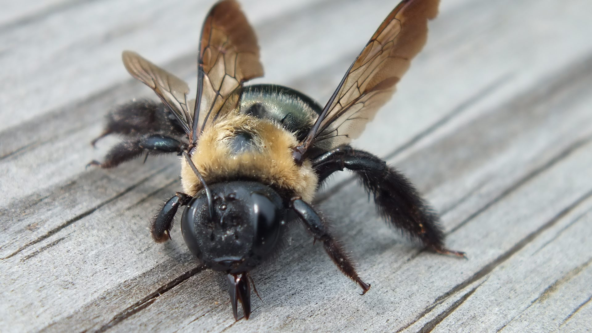Pestered by Carpenter Bees?